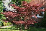 Roter Fächerahorn 'Atropurpureum'