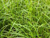 Neuseeland Segge \'Bronze\' - Carex comans \'Bronze\' - Baumschule Horstmann