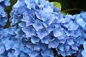 Ballhortensie 'Mathilde Gütges' (blau)