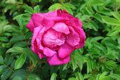 Bodendecker-Rose 'Purple Roadrunner ®'