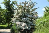 Chinesischer Blumen-Hartriegel 'Wieting's Select'
