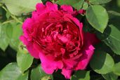 Englische Rose 'William Shakespeare 2000' ®