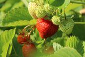 Erdbeere 'Honeoye'