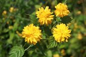 gefüllter Ranunkelstrauch / Kerrie 'Pleniflora'