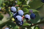 Heidelbeere 'Earlyblue ® Frühreifend'