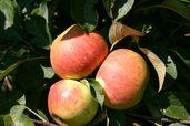Herbstapfel 'Elstar' ®