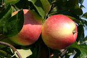 Herbstapfel 'Reglindis' ®