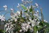Immergrüne Clematis 'Appleblossom'