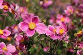 Japan-Herbst-Anemone 'Splendens'