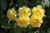 Kletterrose 'Golden Gate' ®
