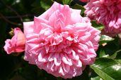 Ramblerrose 'Francois Juranville'