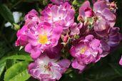 Ramblerrose 'Veilchenblau'