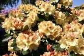 Rhododendron 'Goldprinz'