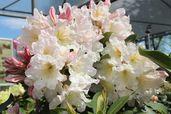 Rhododendron 'INKARHO-Dufthecke' ® weiß