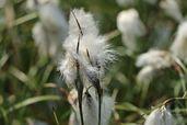 Scheidenwollgras