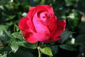 Strauchrose 'Red Eden Rose' ®