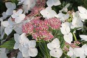 Tellerhortensie 'Teller White' / 'Libelle'