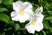 Weiße Apfelrose 'Alba' /- Kartoffelrose /- Hagebutte