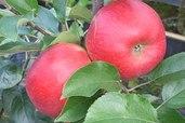 Herbstapfel 'Pidi'