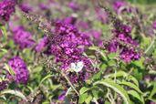 Zwerg-Sommerflieder / Schmetterlingsstrauch 'Buzz ® Pink Purple'