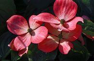 Amerikanische Blumen-Hartriegel 'Royal Red'