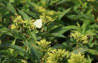 Amerikanische Weigelie 'Butterfly'