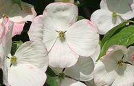 Amerikanischer Blumen-Hartriegel 'Barton's White'