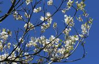 Amerikanischer Blumen-Hartriegel 'Cloud Nine'