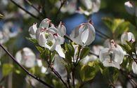 Amerikanischer Blumen-Hartriegel 'Rainbow'