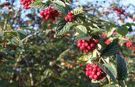Amselbrotbaum / Großblättrige od. Runzelige Strauchmispel