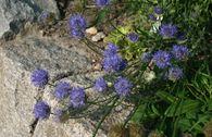 Ausdauerndes Sandglöckchen 'Blaulicht'
