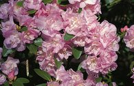 Rhododendron 'April Reign'