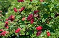 Brombeere 'Tayberry Medana' ®