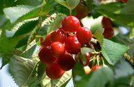 Süßkirsche 'Frühe Rote Meckenheimer'