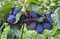 Zwetsche 'Frühe Fruchtbare'