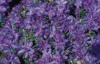 Rhododendron 'complexum'