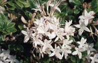 Rhododendron 'Sommerduft'