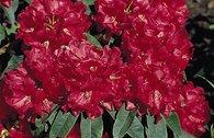 Rhododendron 'Brisanz'
