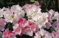 Rhododendron 'Pink Parasol'