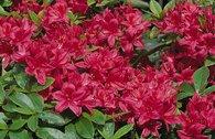 Rhododendron 'Karminduft'