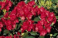 Rhododendron 'Pumuckl'