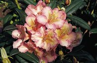 Rhododendron 'Circus'