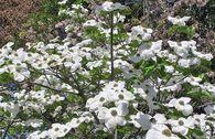 Pazifischer Blumen-Hartriegel 'Ascona'
