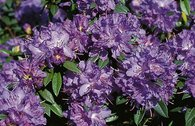 Rhododendron 'Blaumeise'
