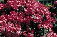 Rhododendron 'Lissabon'