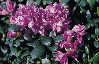 Rhododendron 'Imbricatum'