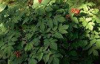 Rotfruchtiges Christophskraut