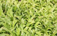 Immergrüne Breitblatt Segge