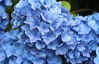 Ballhortensie / Bauernhortensie 'Mathilde Gütges' (blau)