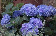 Ballhortensie 'Diva fiore' ® (Blau)